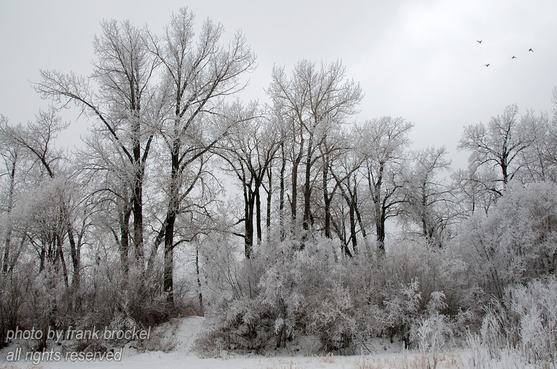 "Trees covered with hoar frost after 2 days of thick fog near the zoo at the Bow River in Calgary.  I liked the contrast between the white frosted branches and the dark tree trunks.  Notice the 4 ducks in the top right corner coming in for a landing in the river.  These photos would look great in 11""x17"" with a light/dark matte and metal frame."