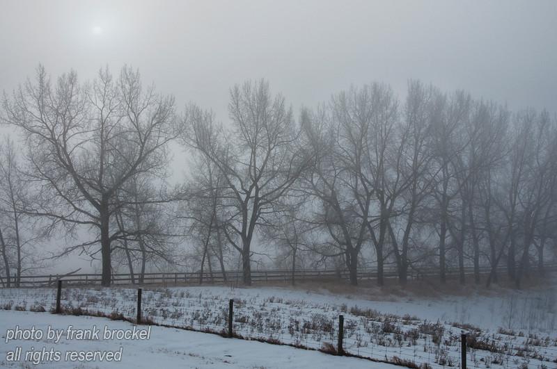 Poplar trees in the early morning fog on a farm south of Calgary, Alberta