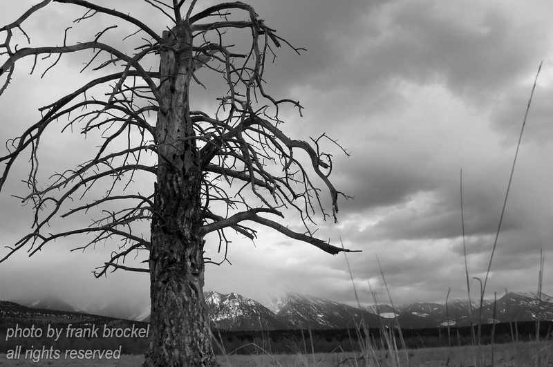 A dead Ponderosa Pine with the Rockies in the background