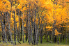 A stand of poplars if full fall colours on the Longview Road, Southern Alberta