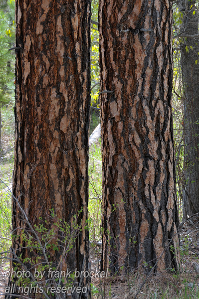 Ponderosa Pine tree trunks