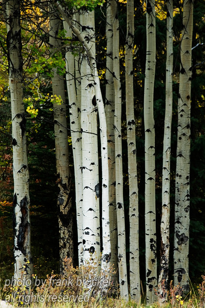 Parallel Trees in the Kananaskis Country, Alberta