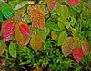 03-Acadia leaves