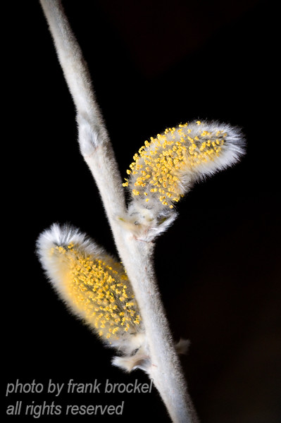 Catkins on a Polar Willow - a sure sign of spring