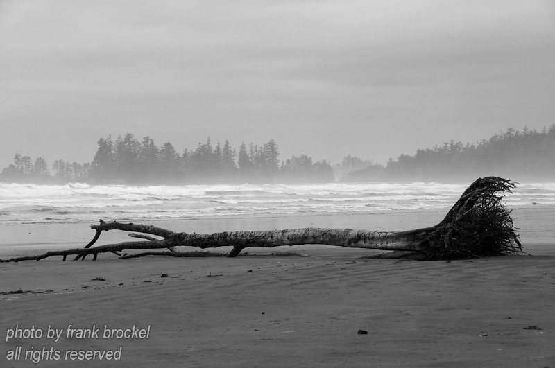 A tree washed onto the beach at the west coast of Vancouver Island, B.C., Canada