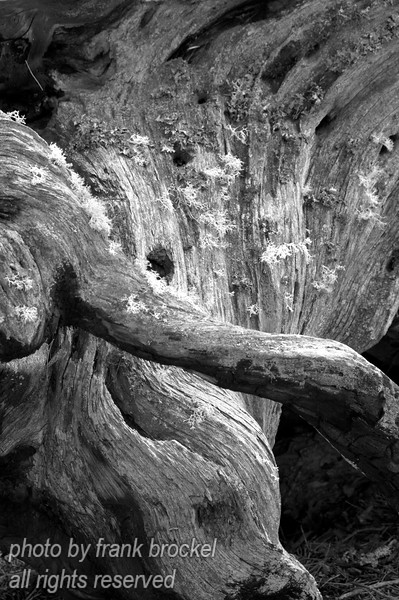 A tree stump and roots with some lichen growing on it - in B&W