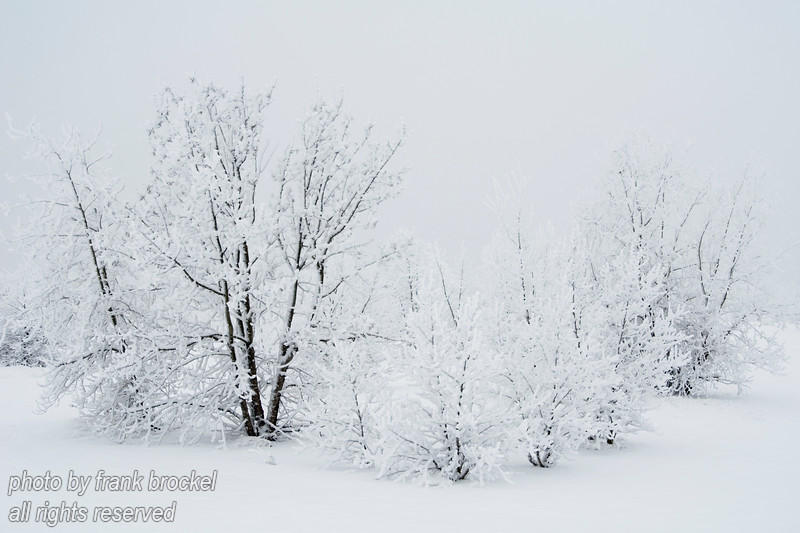 Extreme White I - trees after a snow storm