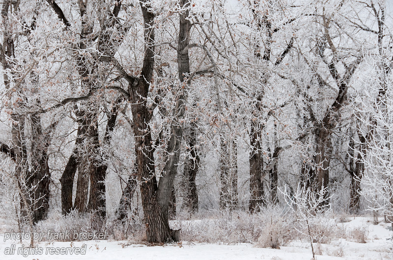 """Trees covered with hoar frost after 2 days of thick fog near the zoo at the Bow River in Calgary.  I liked the contrast between the white frosted branches and the dark tree trunks.  These photos would look great in 11""""x17"""" with a light/dark matte and metal frame."""