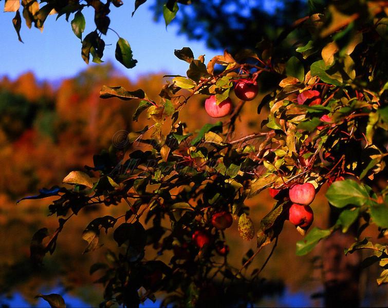 02-11 apple tree closeup