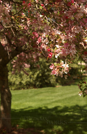 Crabapple or Malus (?) tree on Christopher Dock Mennonite H.S. campus