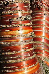 Birchbark cherry tree, Laurelhurst Park, Portland, Oregon