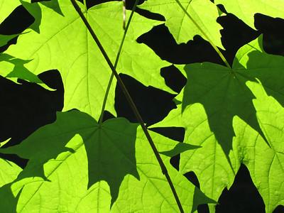 Maple leaves against a shadowed cliff, Thompson Ledges Township Park, Ohio