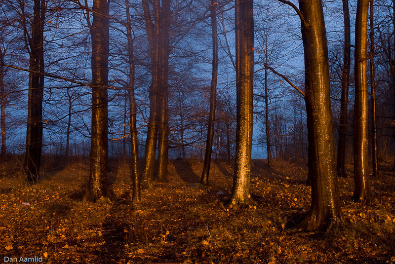 Beech forest in night condition