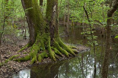 CAD00912 - tronco di una grossa quercia ai margini di una lama d'acqua