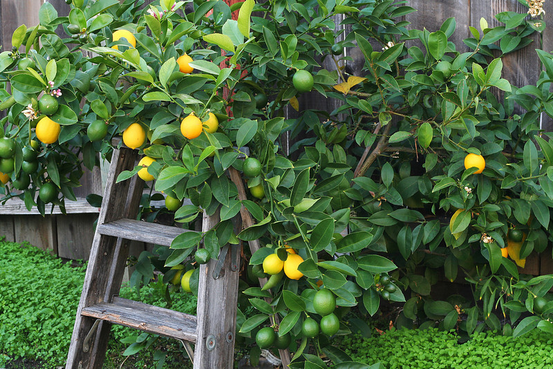 Lemon Tree and Ladder