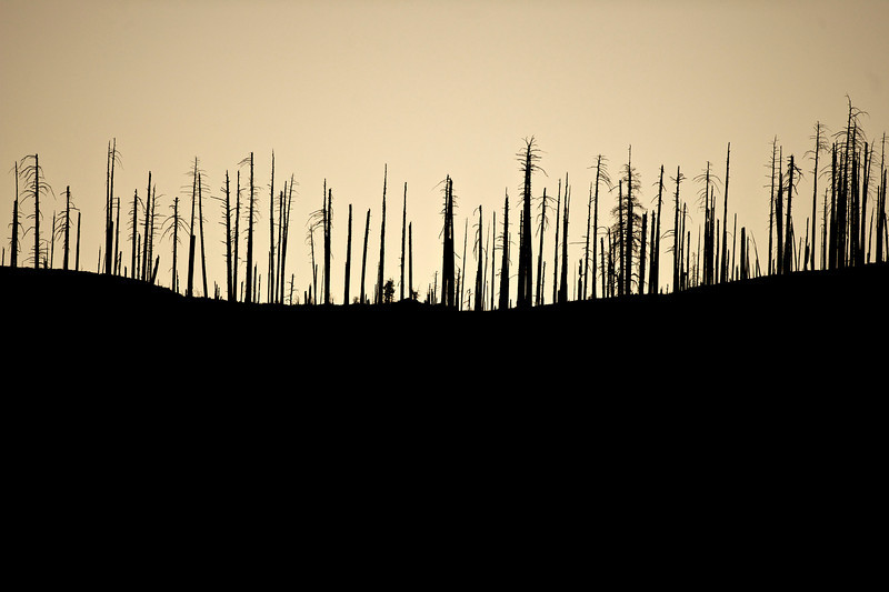 burnt trees above Inspiration Point, Yosemite