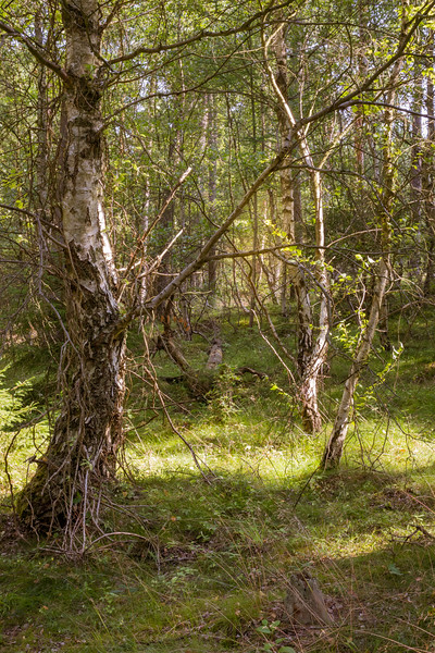 Birch tree in Danish woods
