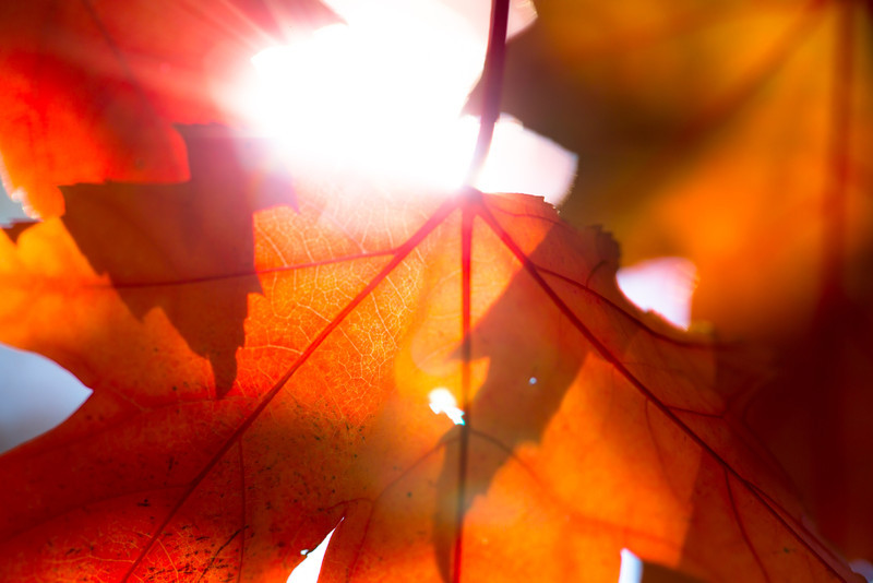 The sun shines through red and orange maple leaves.