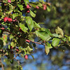 Tree Branches with Several Small Red Fruits