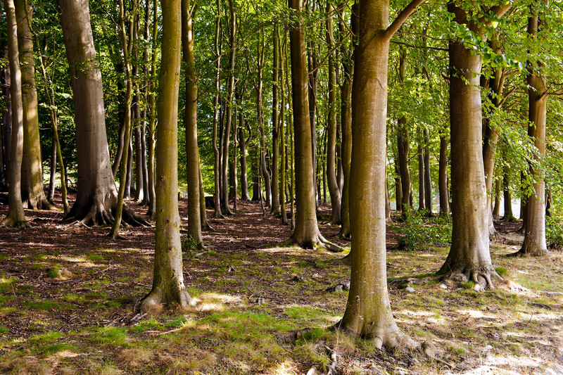 Blickling Estate Tree Grove