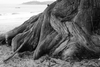Gnarly tree base in Carmel, CA.