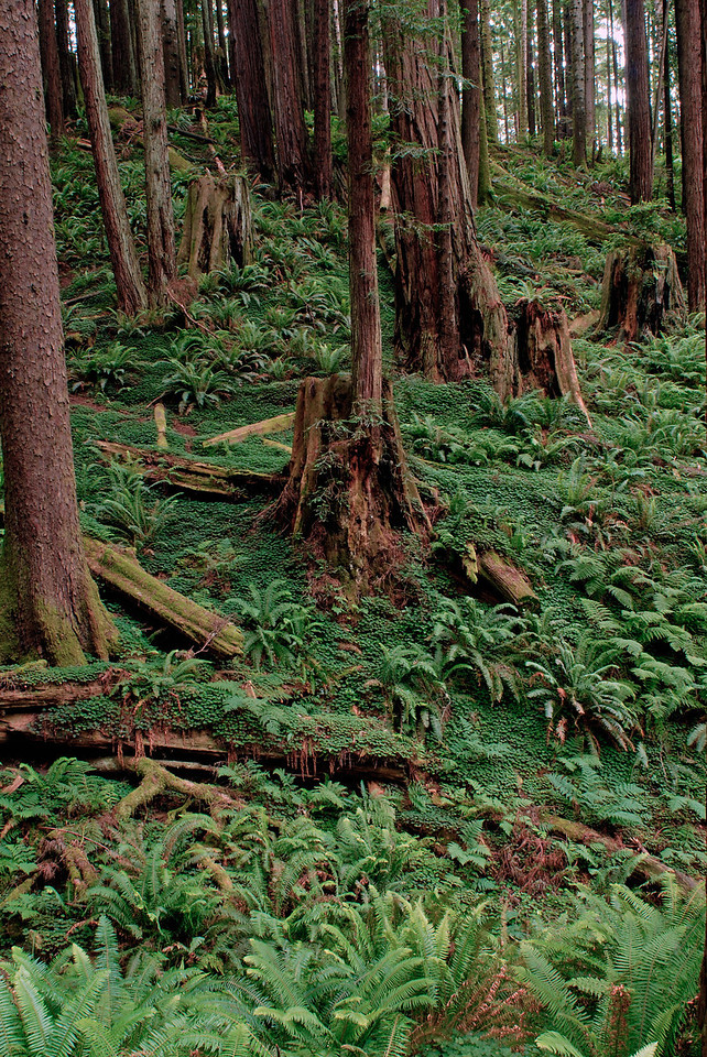 Fern, Clover and Redwood biomass.  Arcata Community Forest, Redwoods National Park