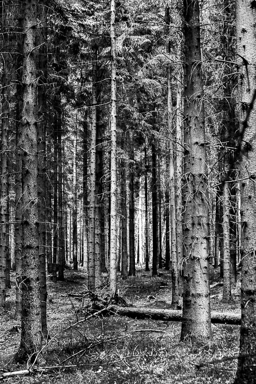 Pine Trees in the Forest in Denmark