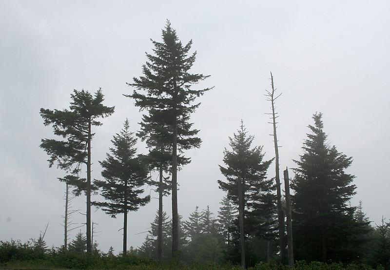 7365 Trees & Fog