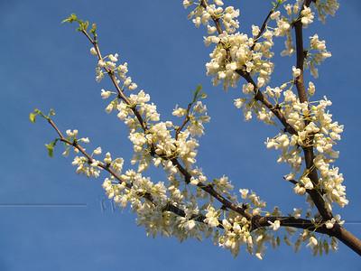 """White Eastern redbud or Cercis canadensis """"alba"""" branch; aka """"Judas tree"""" --Bucks County, PA."""