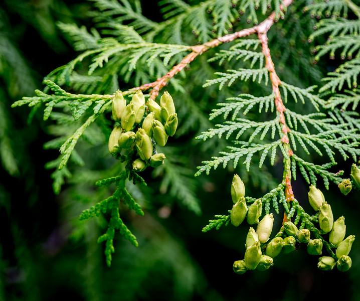 Seed Cones, conifer
