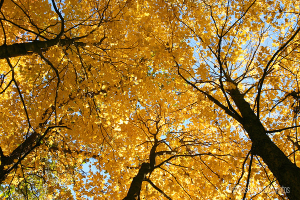 055378-Towering Maples