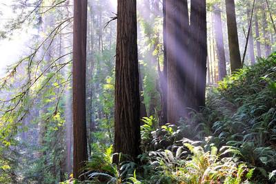 Hillside Redwoods- Stewart's Pt. Rd., CA