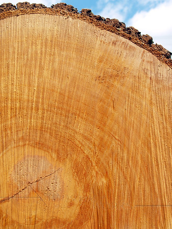 Sawn End of Felled Red Oak Tree (Quercus rubra)