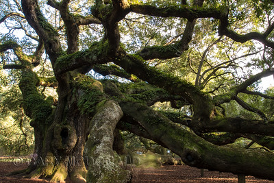 Angle Oak