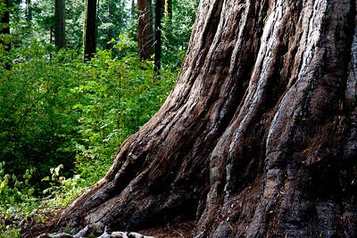 Sequoia- Calaveras Big Trees, CA