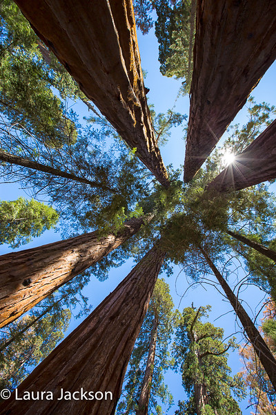 Sequoia Cathedral