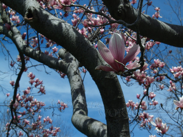 Magnolia soulangeana tree, loaded with blooms '07