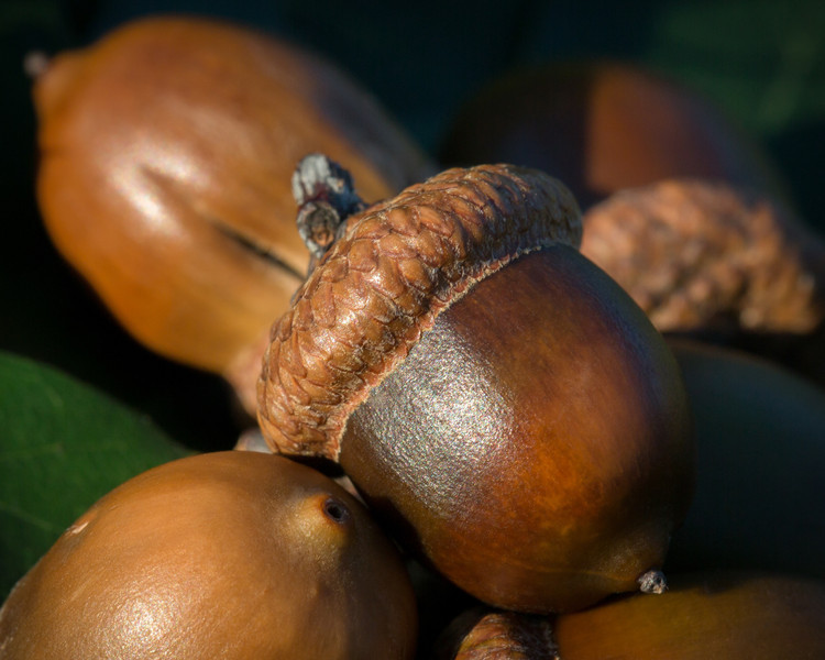 Rich woody tones show on shiny acorn nuts from an oak tree in September