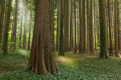 CAV59862 - boschetto di sequoia nei Boschi Spermentali