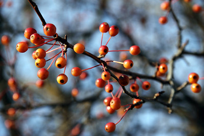 Orange Berries on Leafless Branches