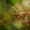 Dried Hydrangea leaves