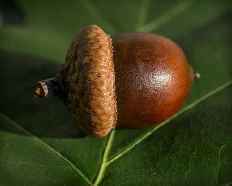 An acorn sits on an oak leaf in the afternoon sun