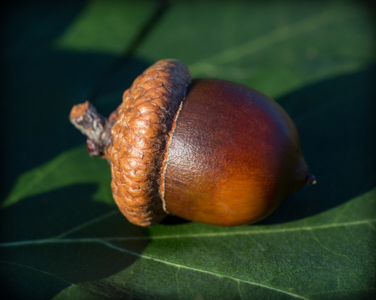 Acorn on oak leaf