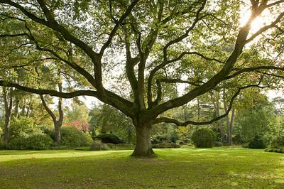 CAV32783 - Grossa quercia (Quercus robur) al centro del giardino