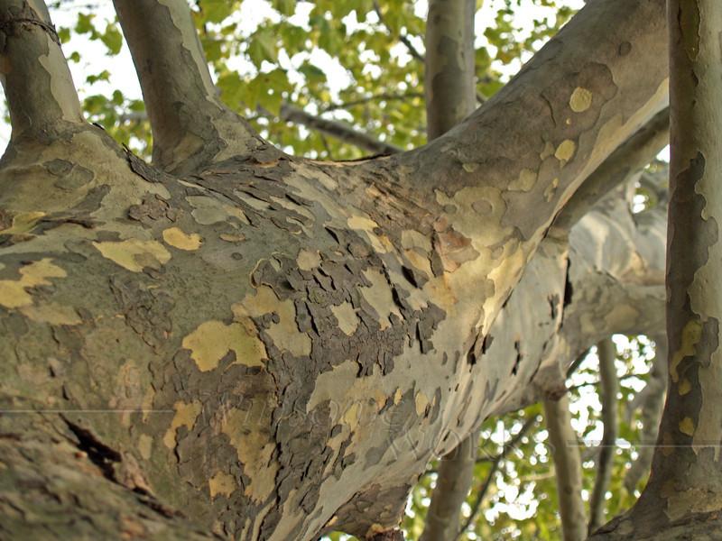 Sycamore Tree Trunk, Looking Upwards