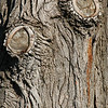 Sad Old Doubled Eyed Tree Trunk