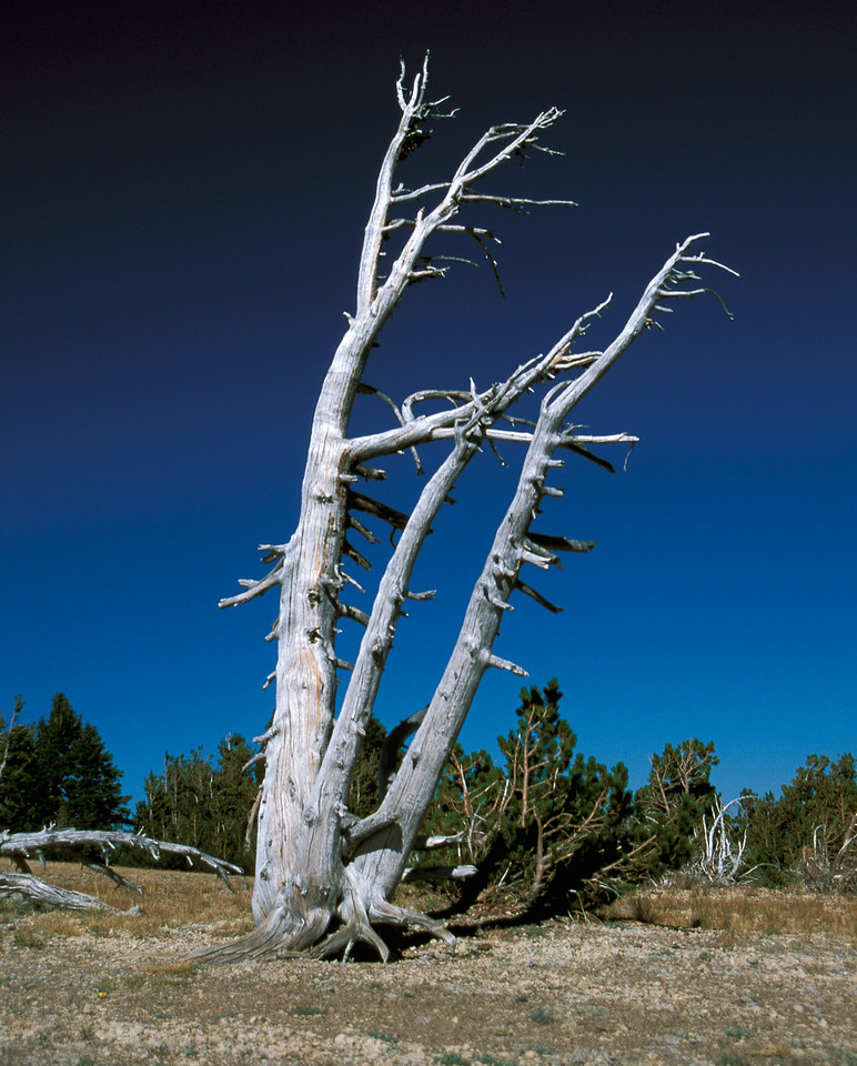 Lone tree.  Crater Lake, Oregon