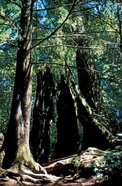 Lady Bird Johnson grove, Humboldt California