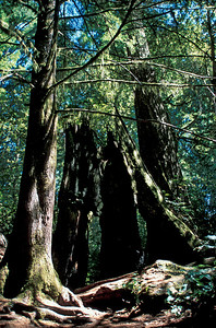Lady Bird Johnson grove, Humboldt California