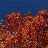 Firey Foliage